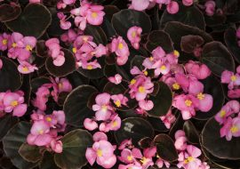 pink flowers growing on some leaves